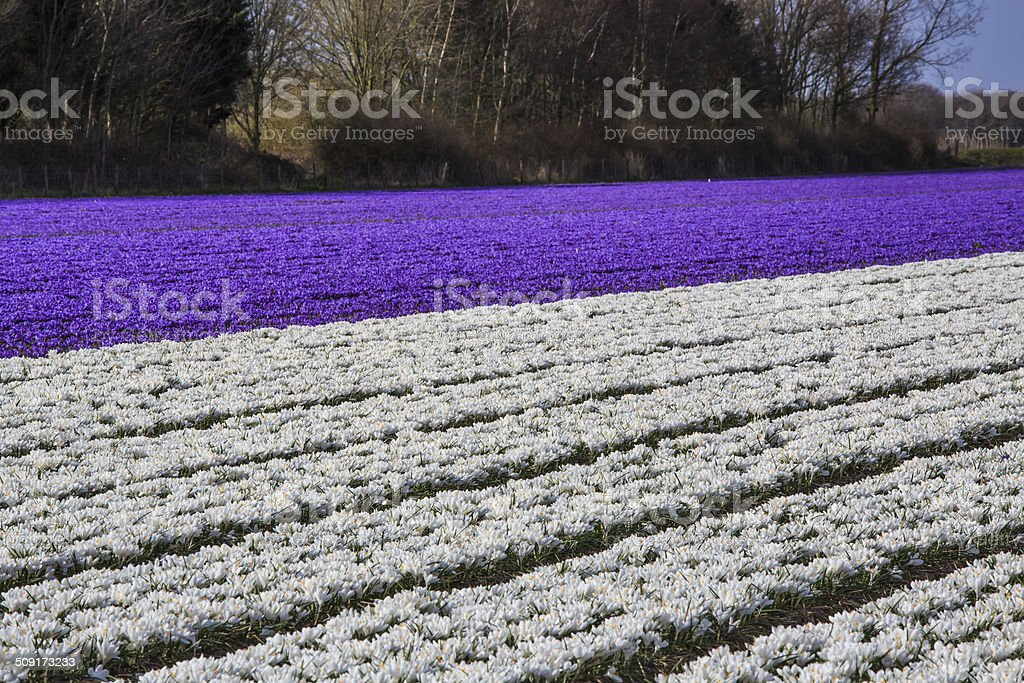 Colorful field of crocuses in Netherlands in Spring stock photo