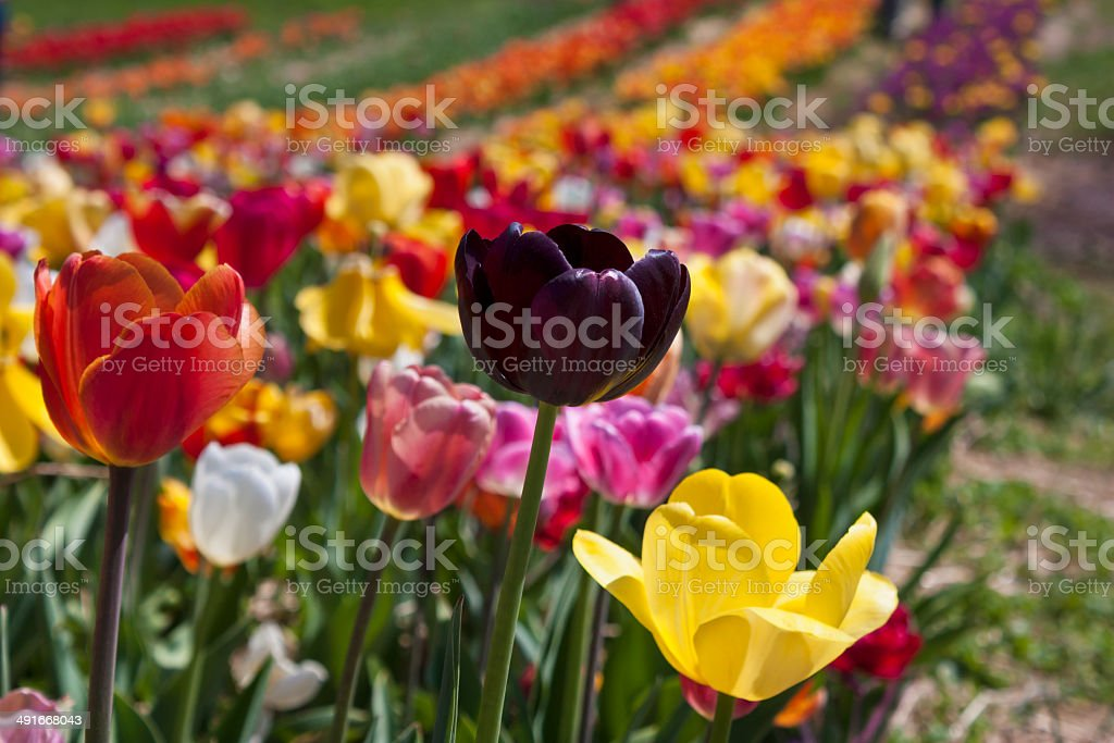 Colorful field of tulips in Haymarket, Virginia stock photo