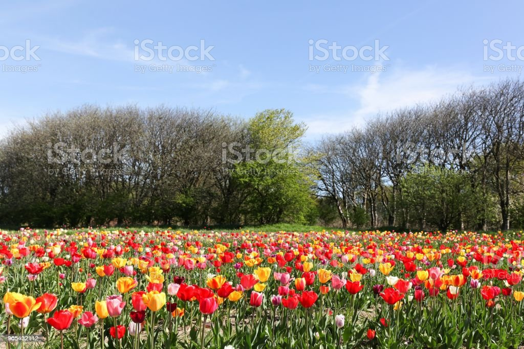 Colorful field of tulips royalty-free stock photo