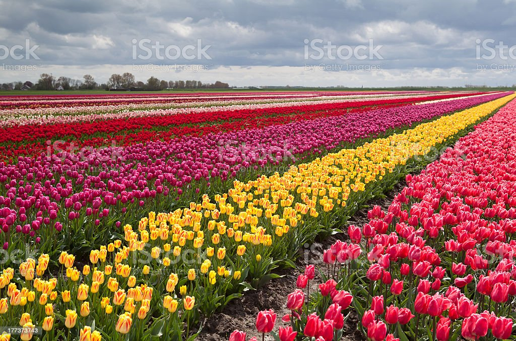 colorful field with rows of tulips royalty-free stock photo