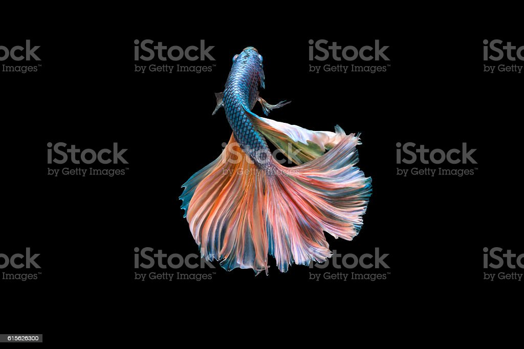 Colorful Fighting Fish stock photo