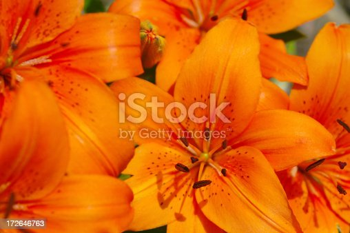 Colorful Fire lilies.Please see more flower pictures from my Portfolio.Thank you!