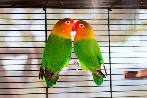 Parrot couple in love - lovebirds. Fischer's Lovebirds parrots close together in a cage. Two affectionate green Agapornis fischeri climbing and kissing in a cage and looking at camera.