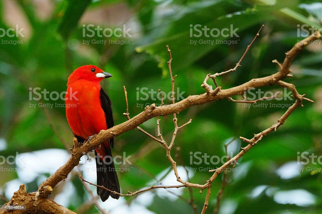 Colorful flame red tanager tropical brazil bird stock photo