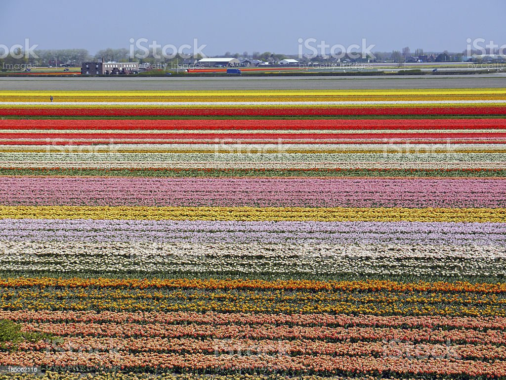 Colorful flower bed with tulips royalty-free stock photo