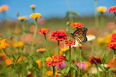 A beautiful monarch butterfly in a field full f beautiful flowers.