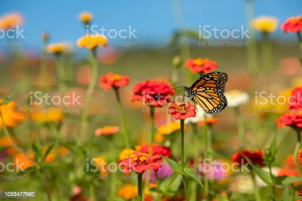 Colorful flower field with monarch butterfly picture id1053477562?b=1&k=6&m=1053477562&s=612x612&h=dp if6mhgexkwlt 0chegp0m9kcepejlg ok0iwbe0y=