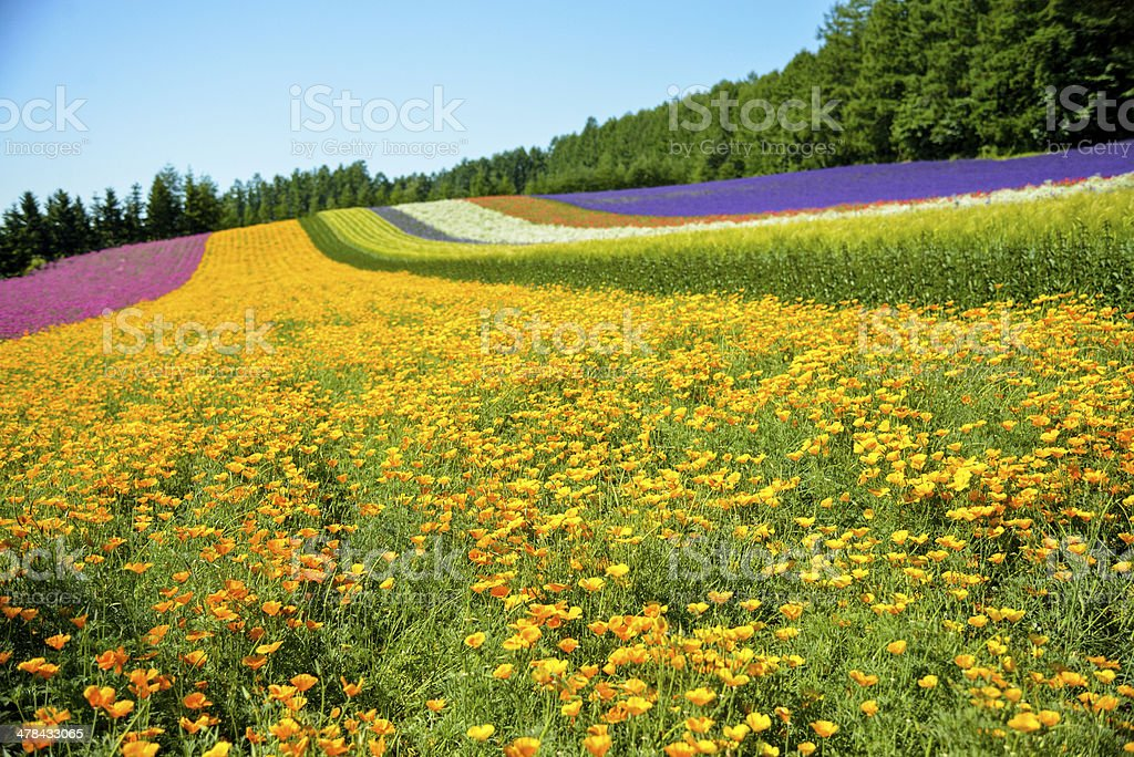 Colorful flower in the row with blue sky4 royalty-free stock photo