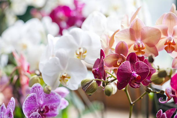 colorful flower orchids. beautiful orchidaceae phalaenopsis pink, red, violet orchid - orchidea foto e immagini stock