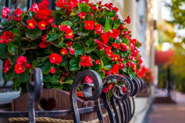 bunte blumentopf mit roten begonien - fensterdeko herbst stock-fotos und bilder