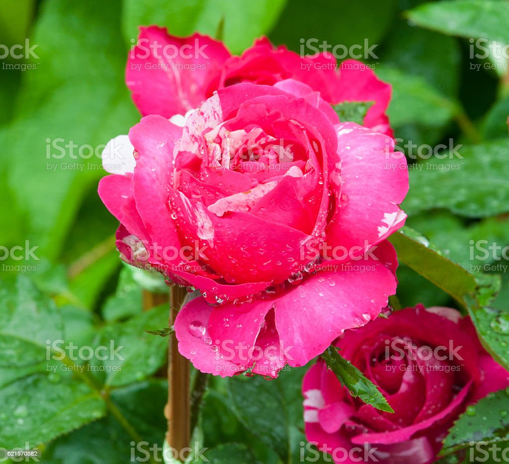 Colorful flower with drop water. photo libre de droits