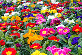 Closeup of a colorful flower bed with red, blue, yellow, pink, white, orange and purple primroses. Shallow depth of field.