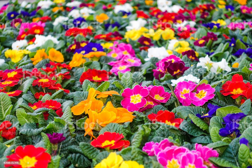 Colorful Flowerbed with Assortment of Primroses stock photo