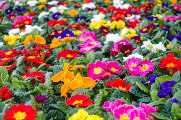 Colorful Flowerbed with Assortment of Primroses – Foto