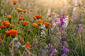 istock Colorful flowering herb meadow with purple blooming phacelia, orange calendula officinalis and wild chamomile. 1181999535