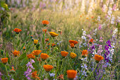 Colorful flowering herb meadow with purple blooming phacelia, orange calendula officinalis and wild chamomile. Meadow flowers photographed landscape format suitable as wall decoration in wellness area