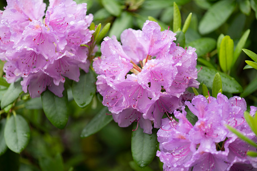 Gorgeous purple rhododendron bush in bloom in the springtime.