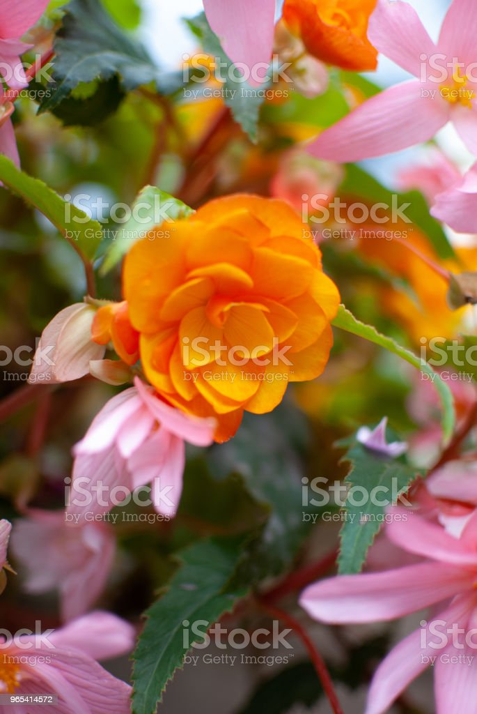 Colorful flowers background zbiór zdjęć royalty-free
