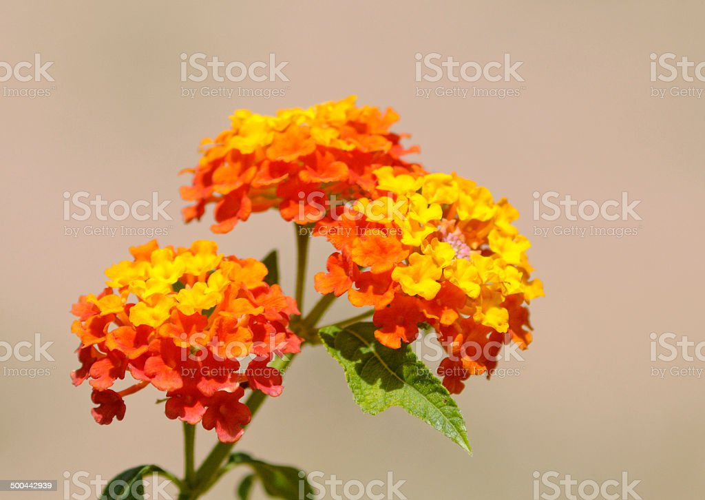Colorful flowers (Lantana camara) blooming stock photo