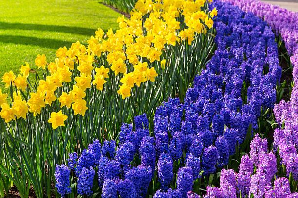 색상화 꽃 꽃송이 봄 가든 - 히아신스 뉴스 사진 이미지