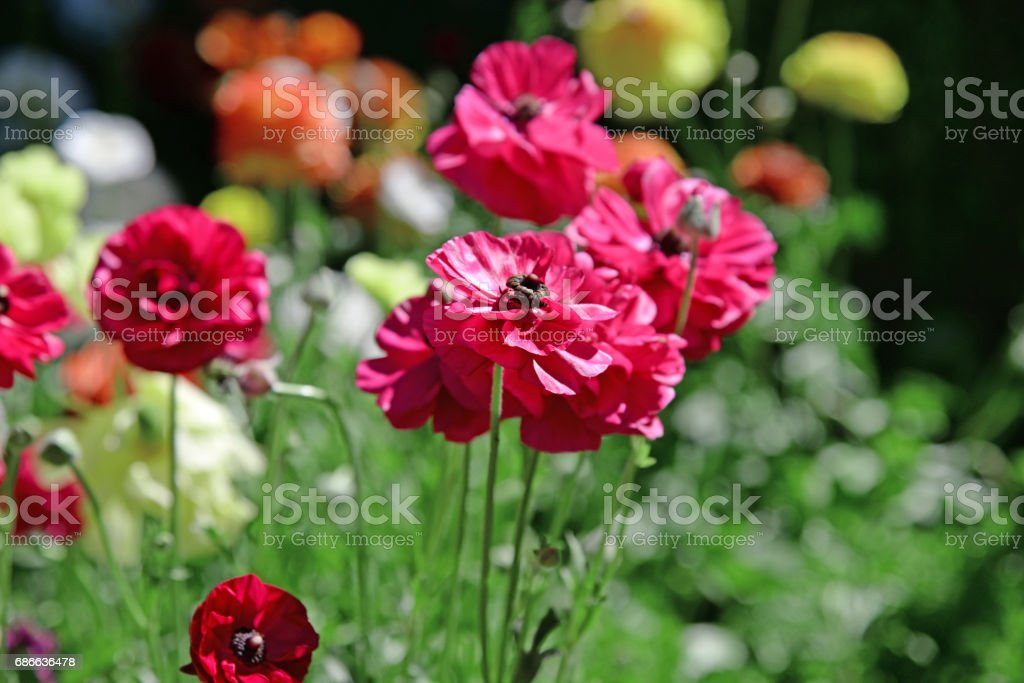 Colorful flowers field, with mixed color under sunny sky in summer foto de stock libre de derechos