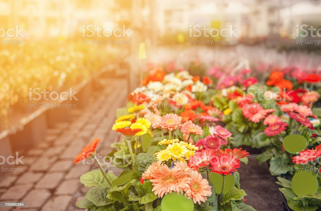 Colorful flowers gerberas in the market on the street on a Sunny day. The horizontal frame stock photo