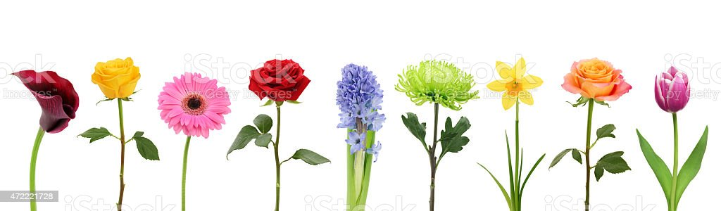 Colorful Flowers in a row (XXXL with path) stock photo