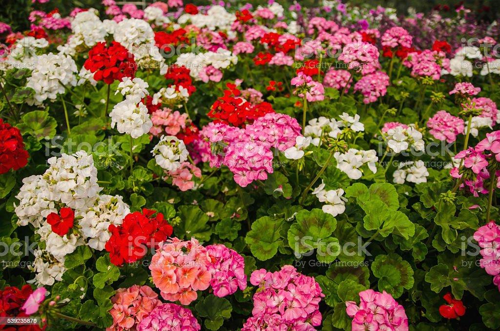 Coloridas flores en el jardín foto de stock libre de derechos