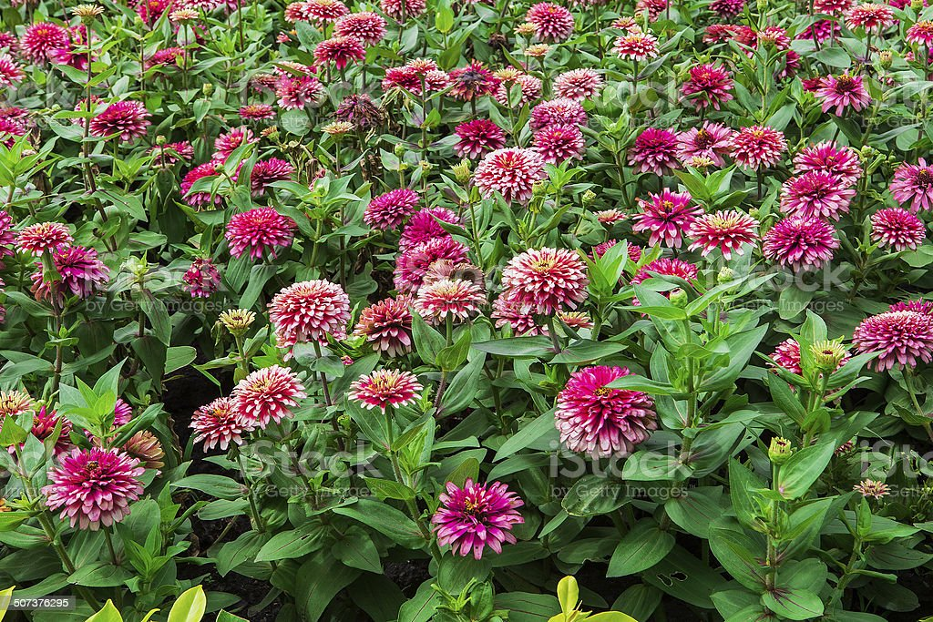 Colorful flowers in the gardens. royalty-free stock photo