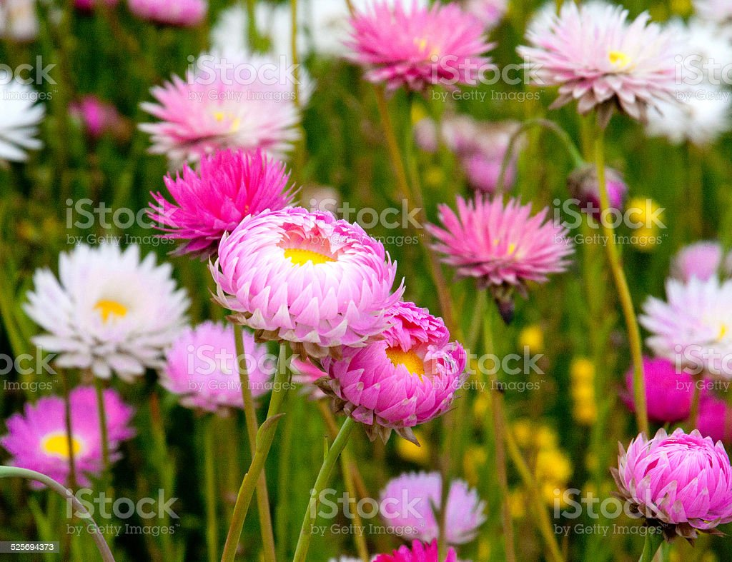 Colorful flowers in winter, Perth, Australia stock photo