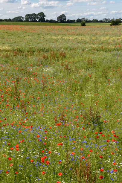 Colorful flowers on a green meadow, Denmark stock photo