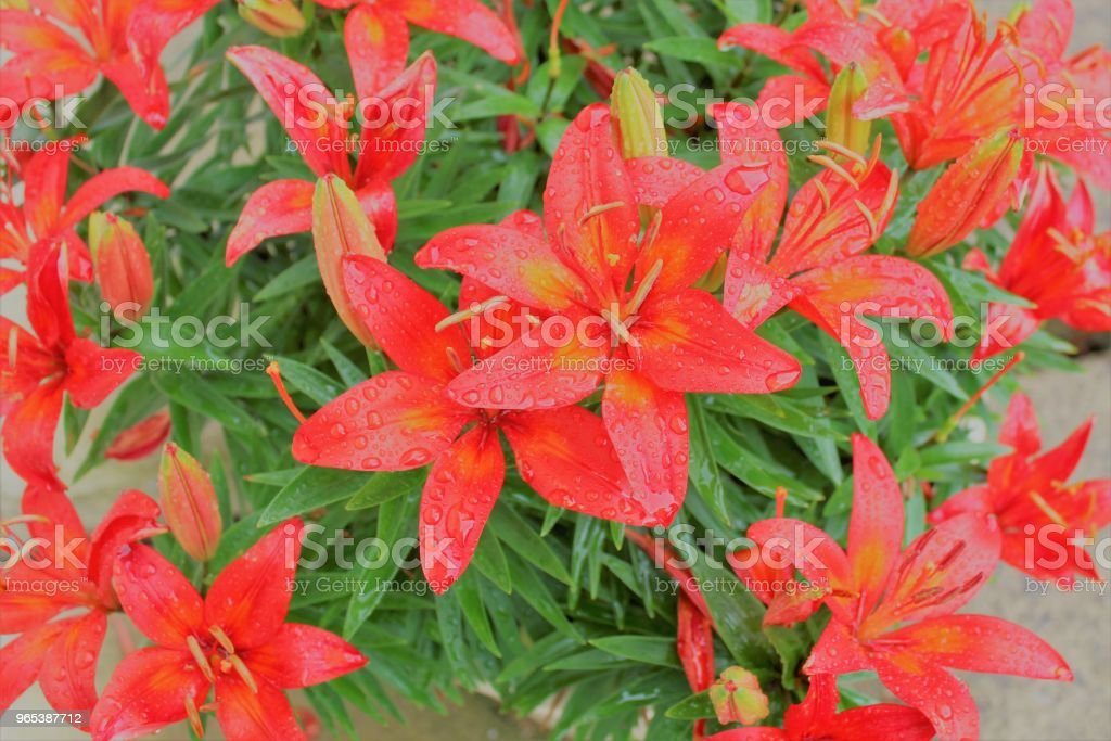 colorful flowers zbiór zdjęć royalty-free