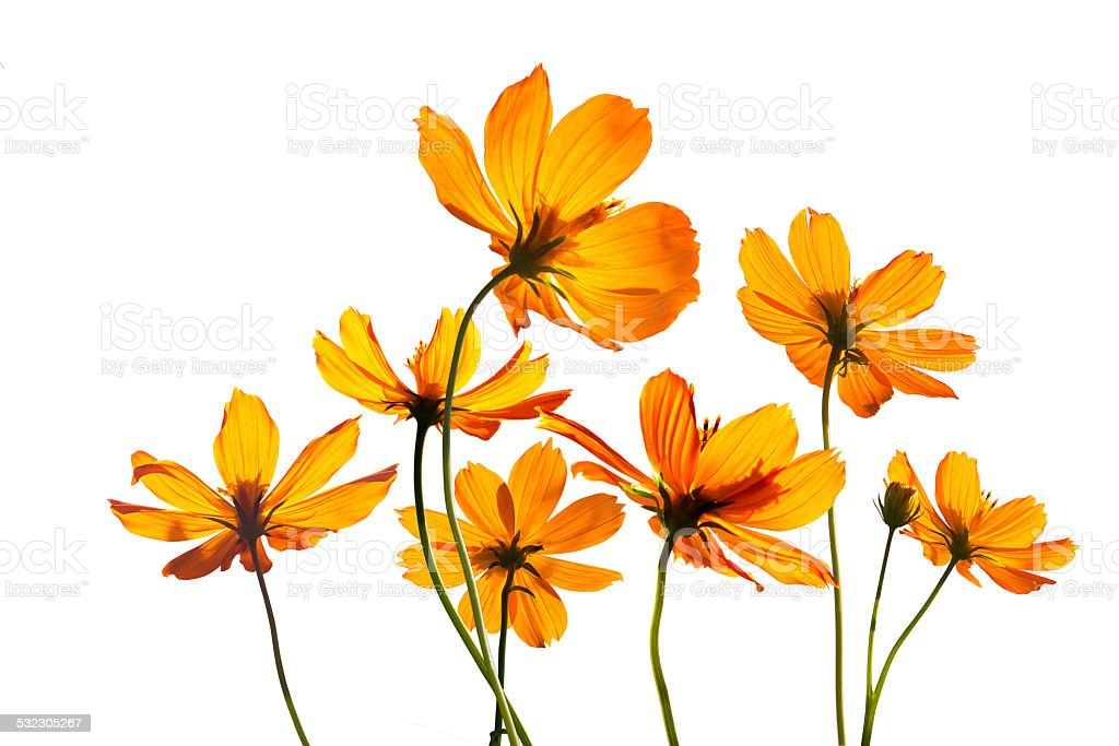colorful flowers transparent on isolated white background, vibrant concept stock photo