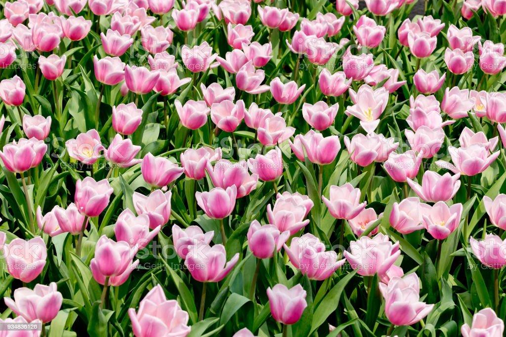 화려한 꽃 튤립 정원에서 - 로열티 프리 0명 스톡 사진