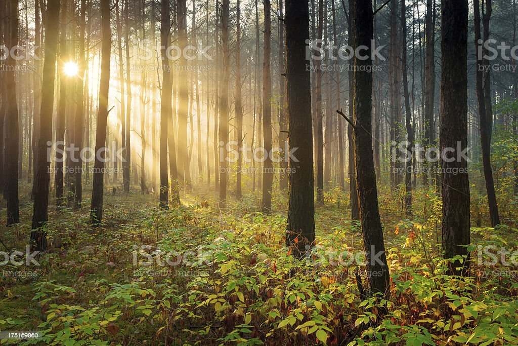 Colorful Foggy Forest - Sun Beams35832510 royalty-free stock photo