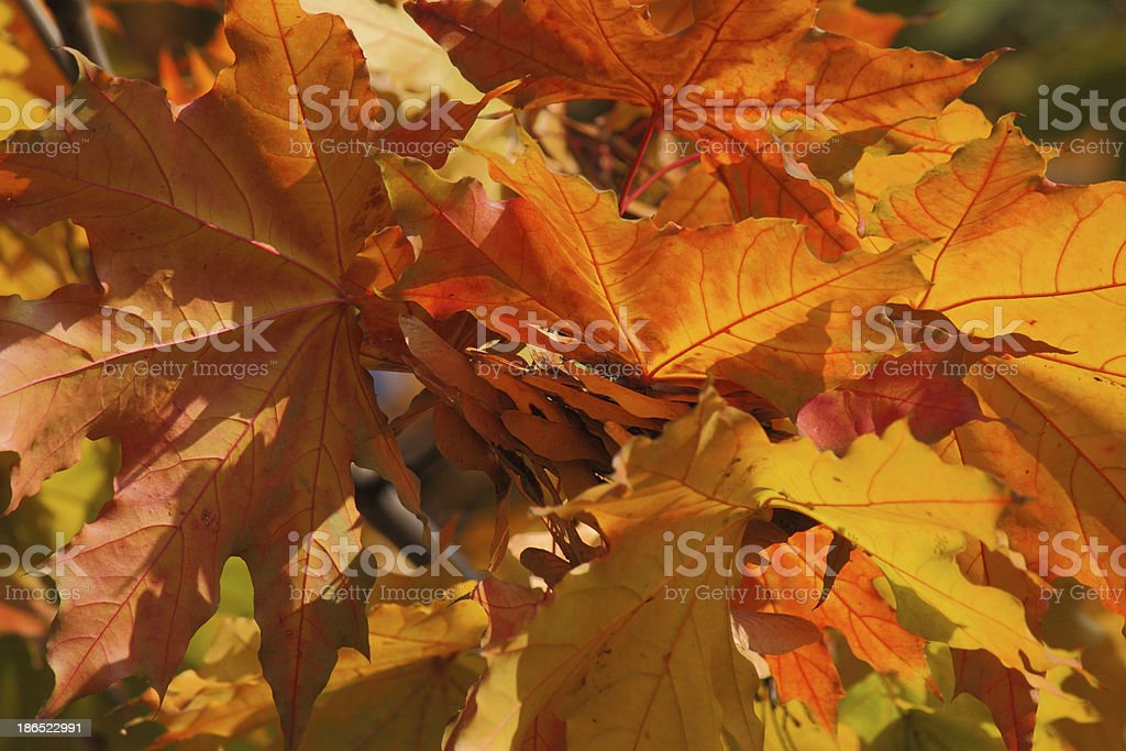 colorful foliage on maple tree royalty-free stock photo
