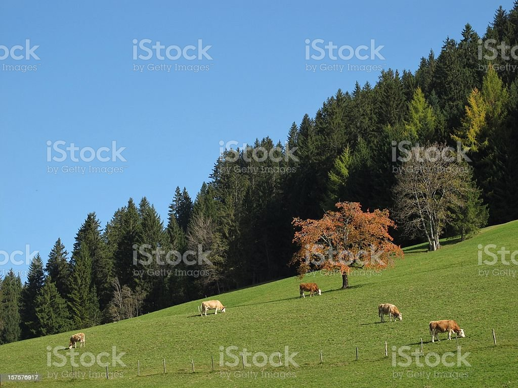 Colorful Forest In The Autumn And Grazing Cows stock photo