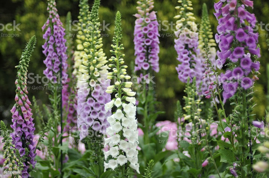 Colorful Foxgloves stock photo