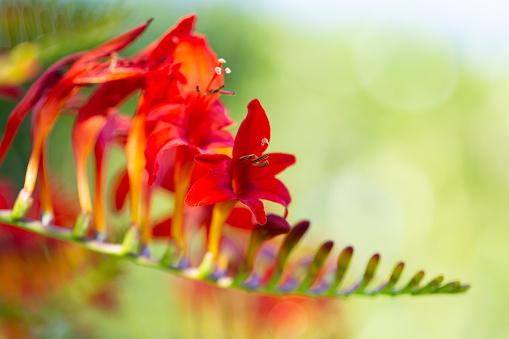 Colorful freesia flowers