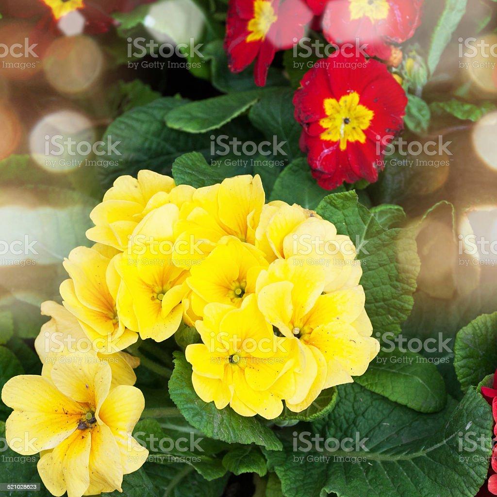 colorful fresh spring primrose flowers stock photo