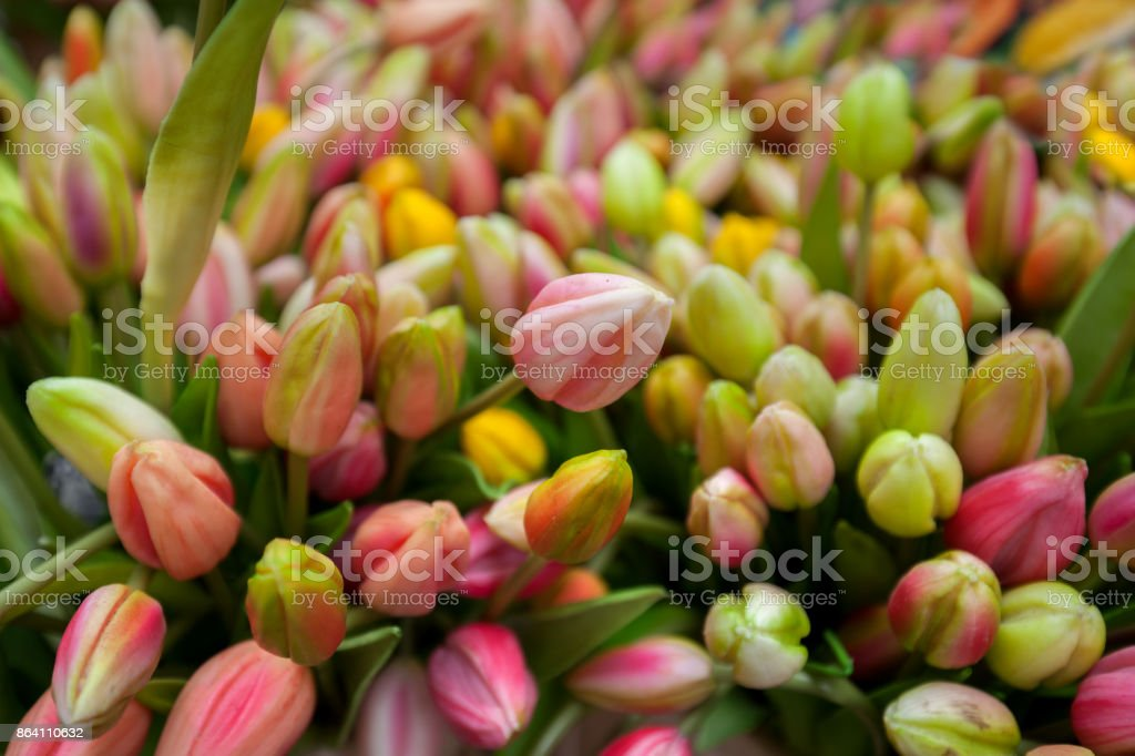 Colorful Fresh Tulips royalty-free stock photo