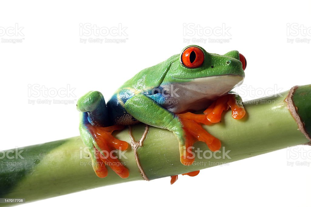 Colorful Frog royalty-free stock photo