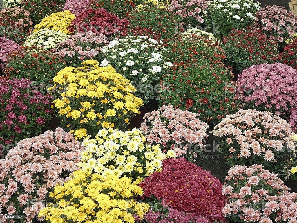 Jardim de flores colorida em flowerpots foto de stock royalty-free
