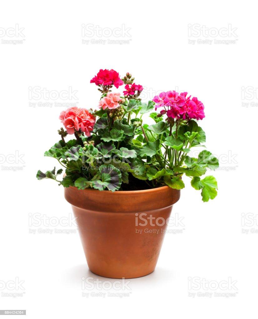 Bunte Geranien blühen in Keramik Blumentopf isoliert auf weiss – Foto