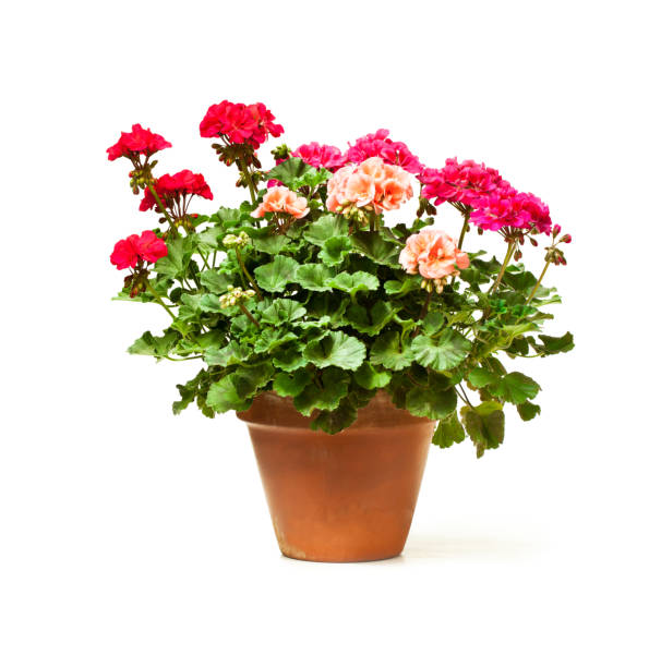 Colorful  Geranium flower in ceramic flowerpot isolated on white stock photo