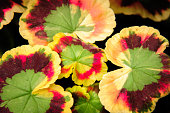 Close up of the patterns on colorful geranium leaves.