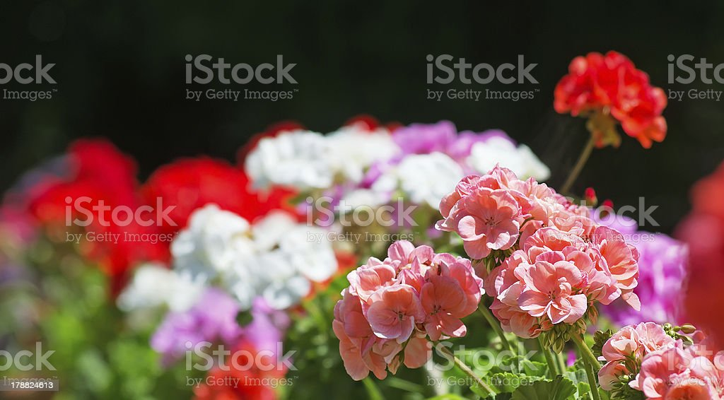 colorful geraniums royalty-free stock photo