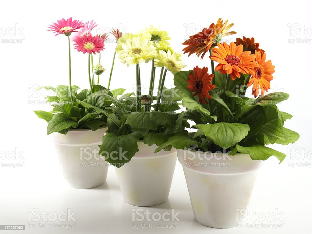 colorful gerbera flowers in 3 white flower pots royalty-free stock photo