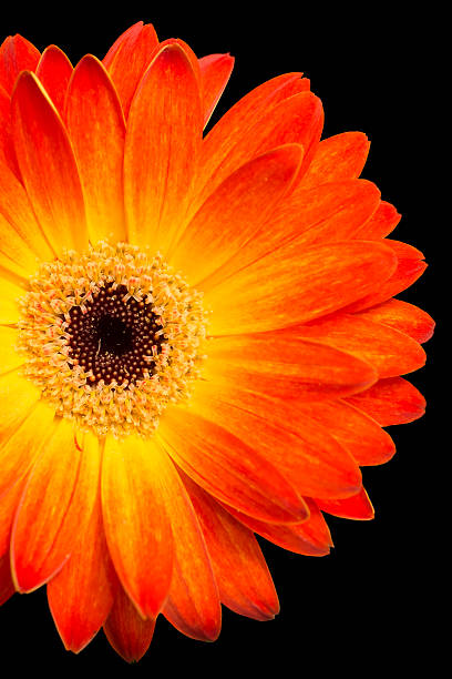 colorful gerbera on black background stock photo