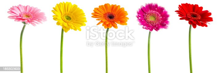 Colorful Gerberas flowers isolated on white background with Clipping Path.
